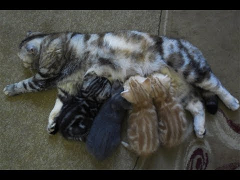 Шотландские котята , окрас тебби   Котяткам один месяц