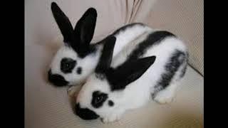 Кролики породы бабочка. Информация.