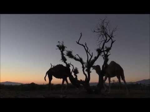Dromedary Camels at Break of Dawn (HD 1080p Video) جمل