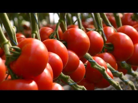 KS 301 F1 - красный томат для закрытого грунта от Kitano Seeds