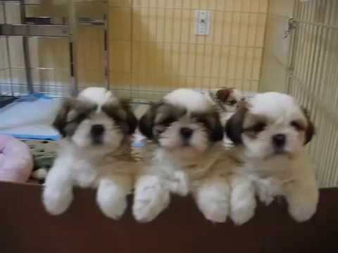 Standard Type Shih Tzu Puppies Youtube