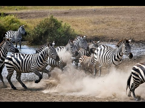 wild animals lion chases zebras youtube
