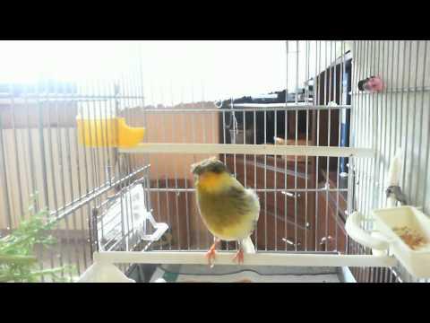 canto canarino gloster