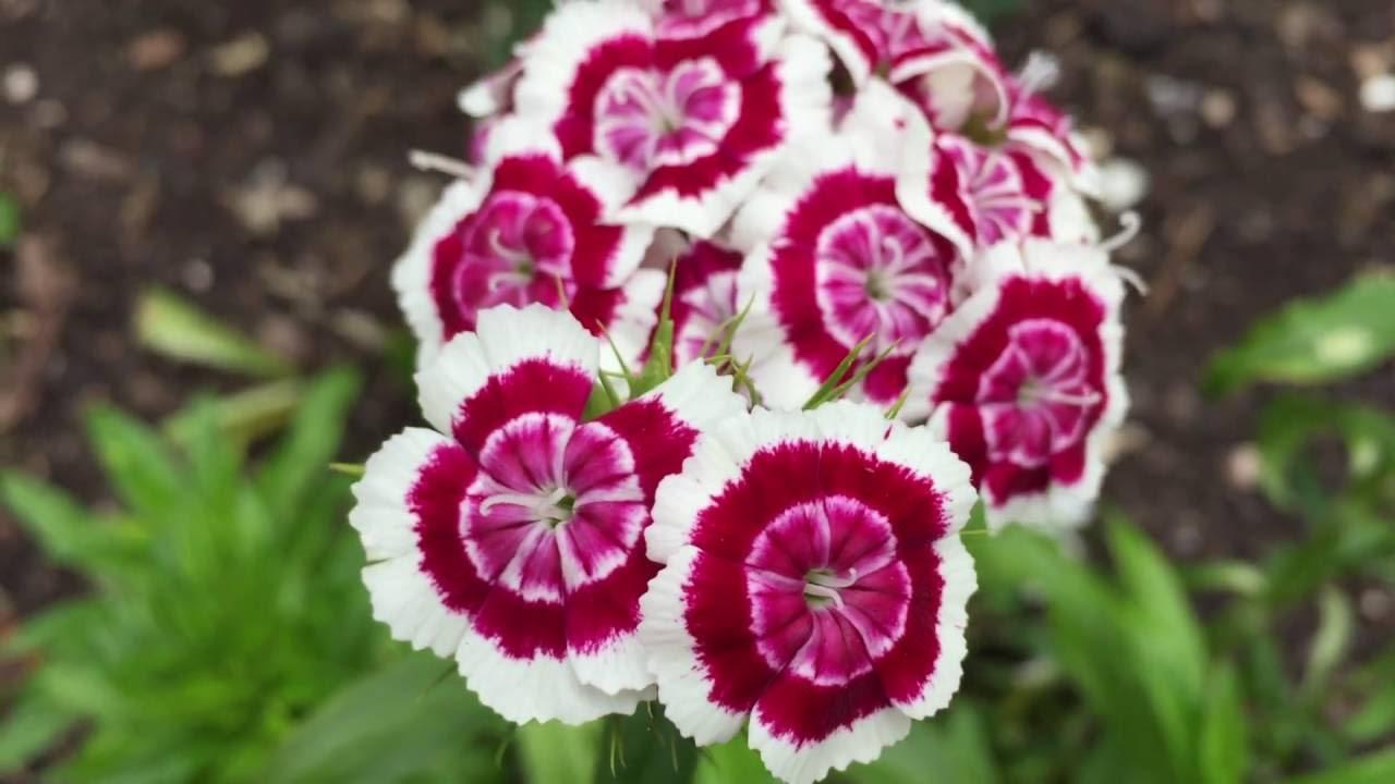 White Pink Red Pelargoniums Geraniums In Garden Geraniums