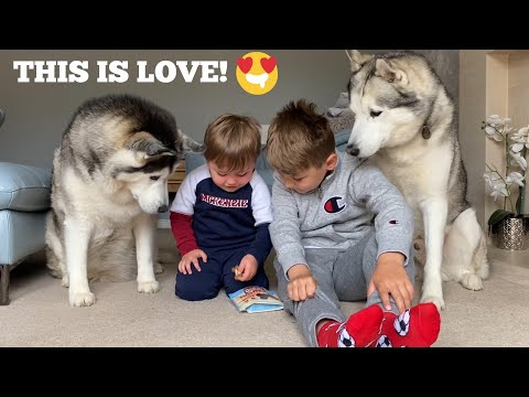 The Best Thing To Stop Baby Crying Is Bringing In The Huskies! [TRY NOT TO SMILE]