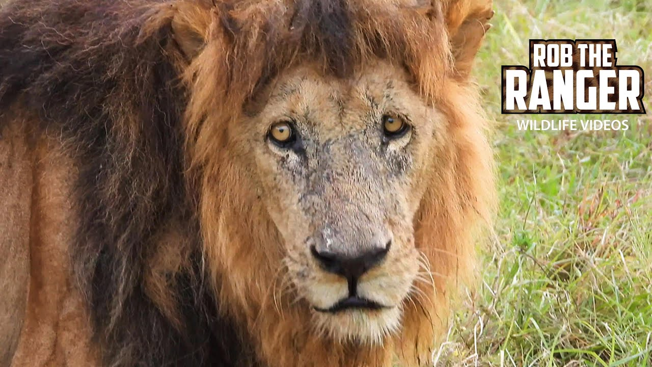 Old Lion Lolparpit Shared A Buffalo With Fig Tree Young Males | Maasai Mara Safari | Zebra Plains