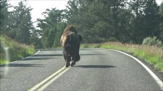 Bison Headbutts Car in Yellowstone National Park