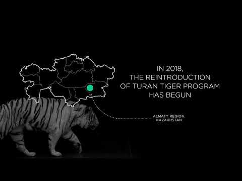 Return of Turan tiger