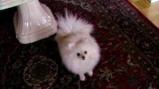 Funny Pomeranian Dog