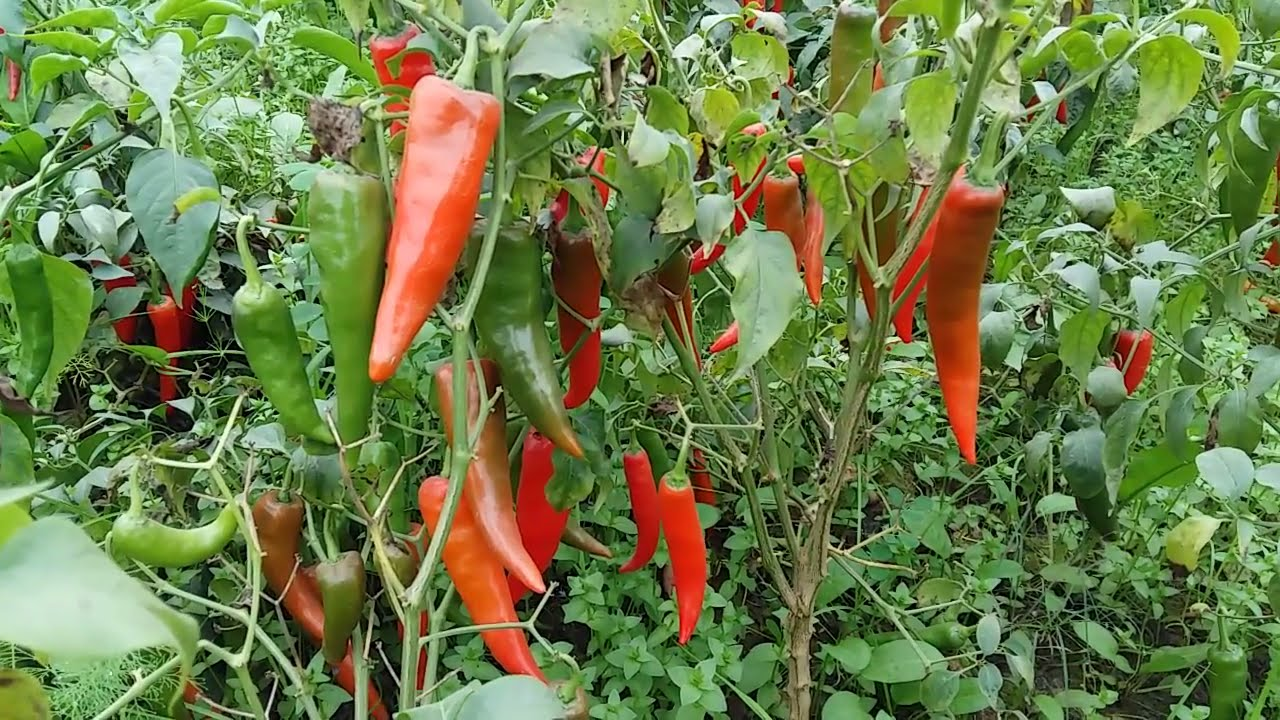 how to start a chilli farm