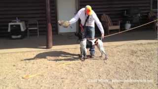 Hunting Dog Training - Developing Steady To Release - Step 2