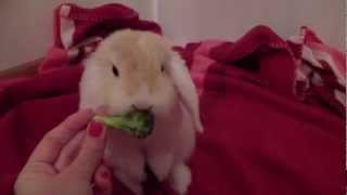 Mini Holland Lop baby bunny eating broccoli - super cute