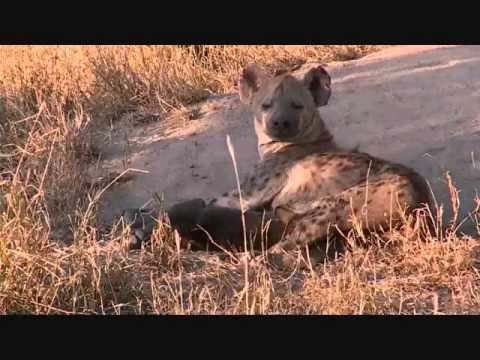 PM Safari Drive at Djuma Game Reserve on March 09, 2015 ( Nkuhuma Pride )