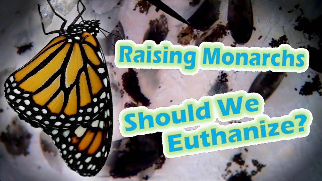 72398761df48c Raising Monarchs - Should We Euthanize? (Help The Monarch Butterfly ...