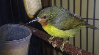 Download Suara Kolibri Wulung Betina Gacor Pikat Ampuh Untuk Pancingan KOWUL Jantan Supaya Rajin Berkicau