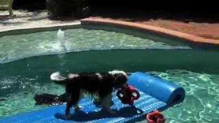 Cavalier Swim Time In Sanibel (cavalier Rescue Usa)