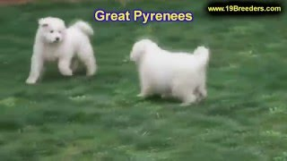 Great Pyrenees, Puppies, For, Sale, In, Birmingham, Alabama, Al, Montgomery, Tuscaloosa, Jefferson,