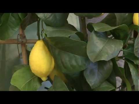 Cifo ascolta le tue piante gli agrumi in vaso youtube for Coltivare more in vaso