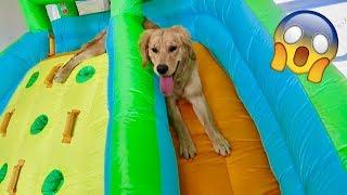 Golden Retriever Gets Personal Bounce House!