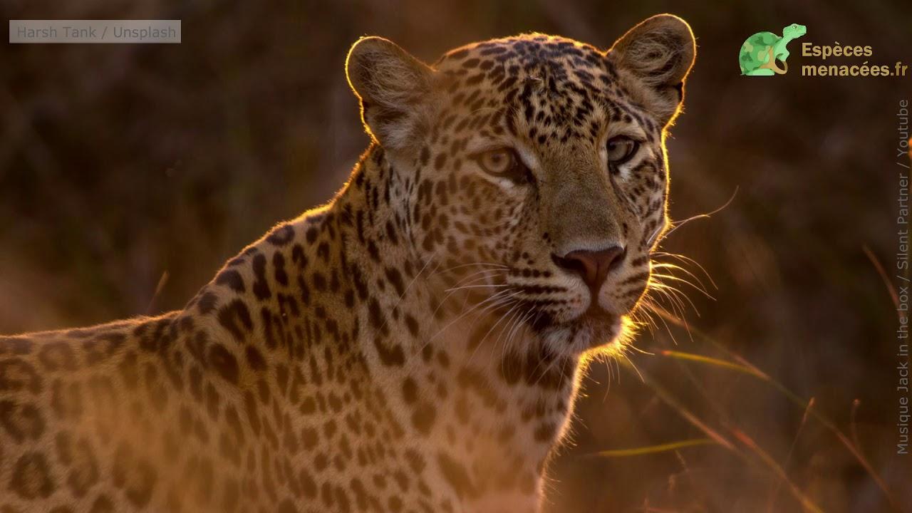 En Inde, le nombre de léopards fait un bond de géant