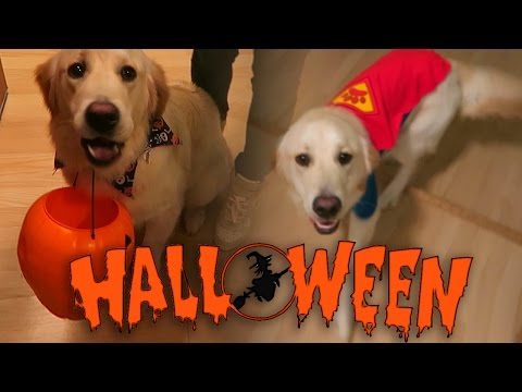 Super Cooper Sunday #35: Coop's First Halloween! (Golden Retriever Puppy)