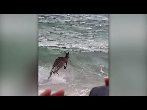 Only in Australia: Kangaroo jumps into ocean, had to be rescued