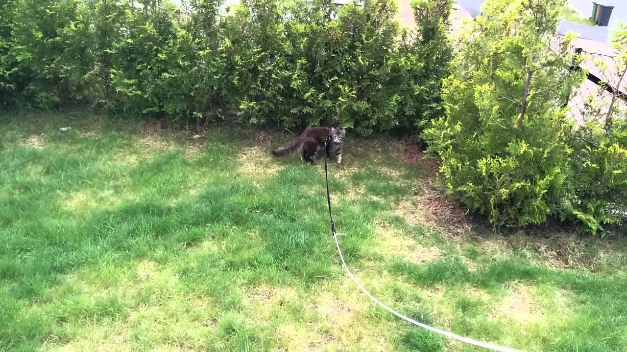 Maine Coon Kitten Zevs In A Long Leash