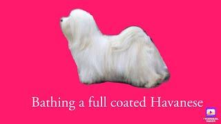 Havanese dogs  Bathing a full coated Havanese