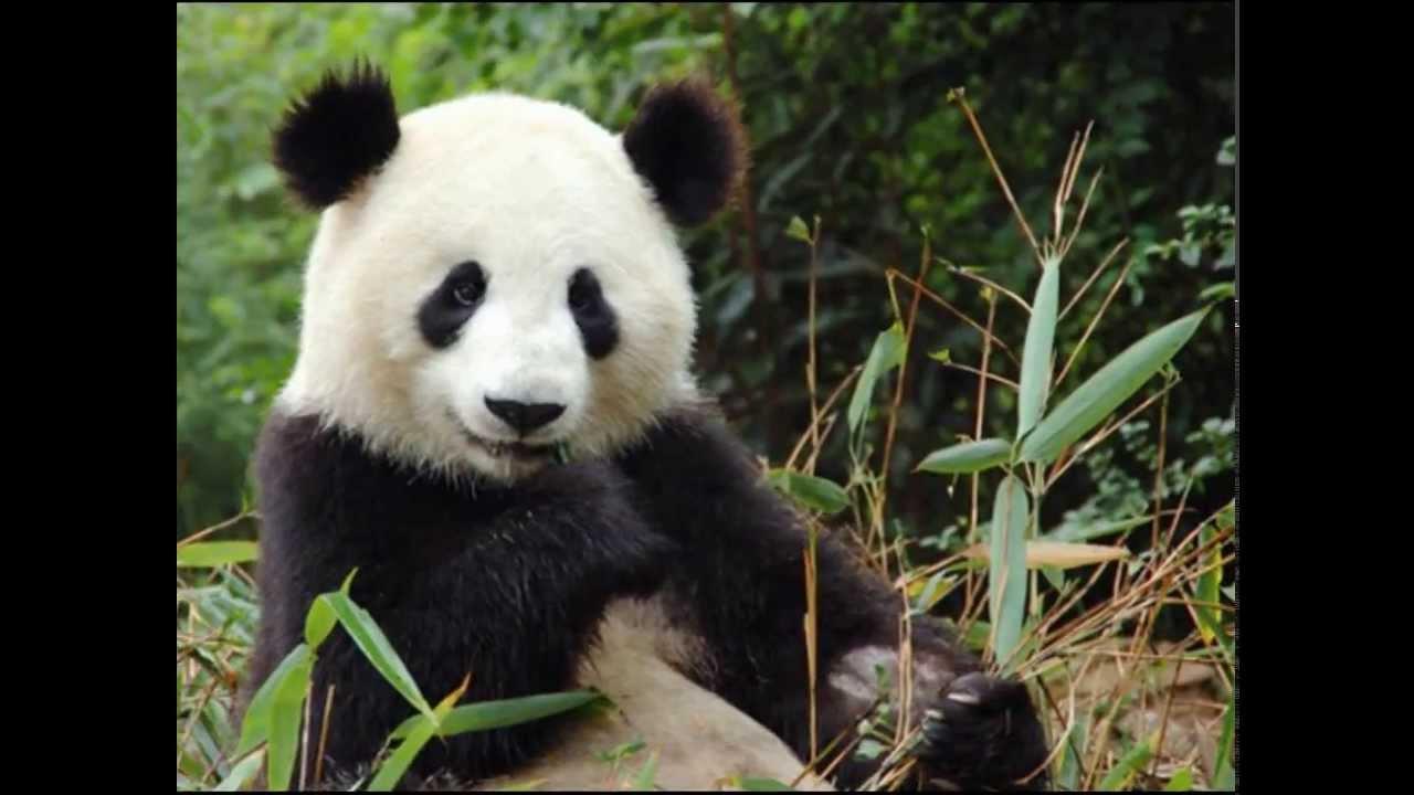 compilation de pandas trop mignon youtube. Black Bedroom Furniture Sets. Home Design Ideas