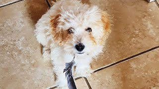 Wilfred the Cavapoochon Puppy  VR180 3D 180 VR