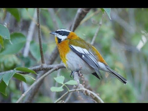 Birding in Cuba, January 2017: Part 3 - La Belen & Cayo Coco
