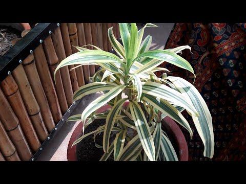 How to Make Song Of India Plant / Dracaena Bushy    सॉंग ऑफ इंडिया को घना कैसे बनाएं   Fun Gardening