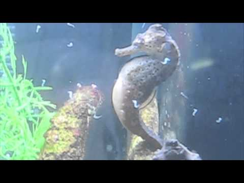 amazing-male-seahorse-giving-birth,-having-babies,-gives-birth