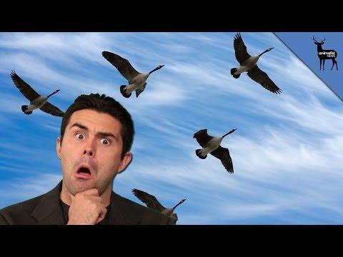 """Why Birds Fly in """"V""""s"""