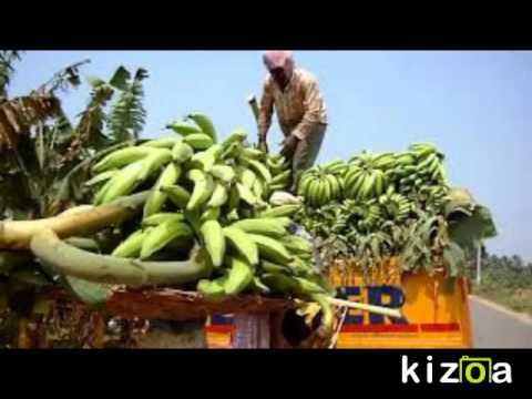 Organic Banana Farming
