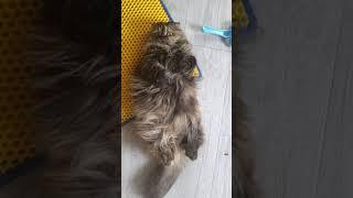배까기 좋아하는 애기 사자 너구리 고양이 먼지
