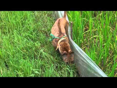 Chó Phú Quốc đi săn