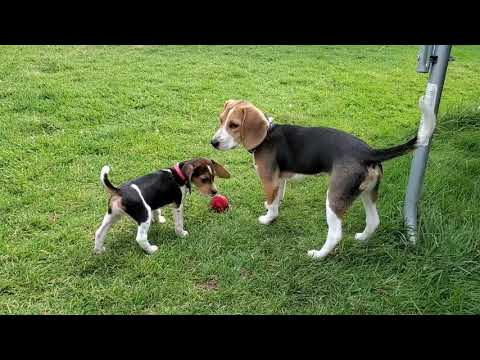 Beagle puppies are crazy about their new toy