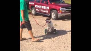 High Energy Pit Bull Pointer X Dog Training Fenton Mi