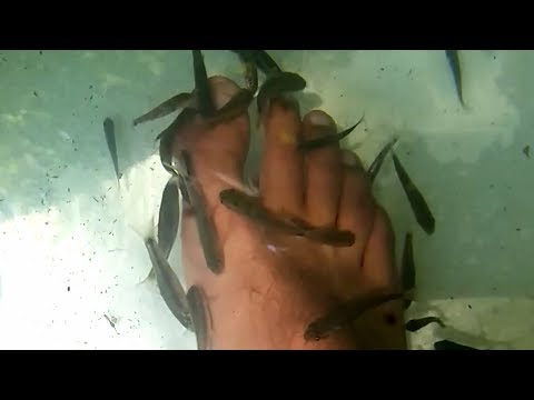"Garra Rufa (""Doctor fish"") why is it controversial and how to care in home aquarium"