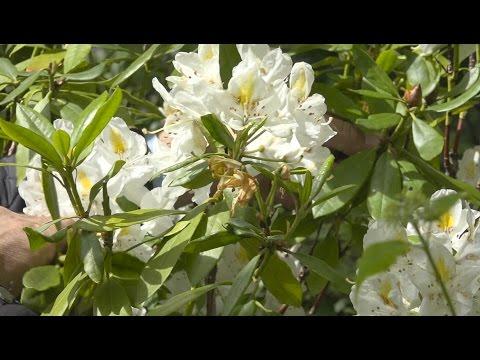 Wat doe je met een Rhododendron met bruine knoppen?