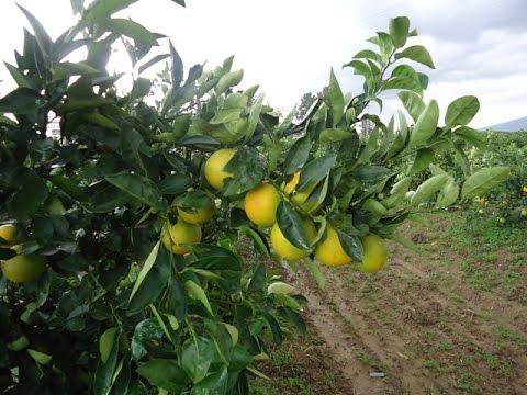 Agrumes en Algérie, le goutte a goutte dans un verger planté en 1950