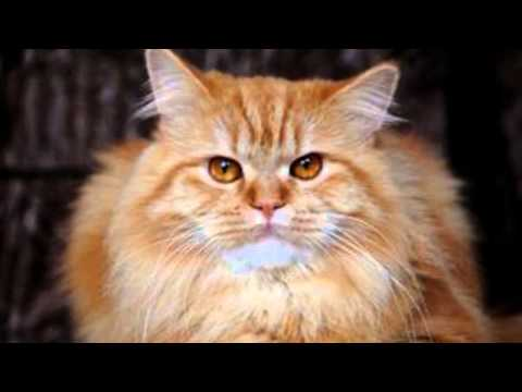 Natural remedies for cats ear mites