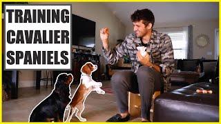Puppy Training  Cavalier King Charles Spaniel