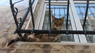 Tabby cat lying in the window, she's meowing for food and love