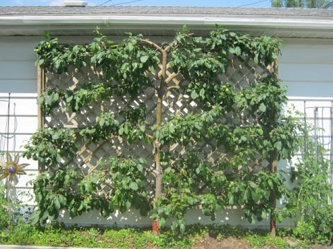 Superb Growing Fruit In Your Small Urban Garden. Espalier