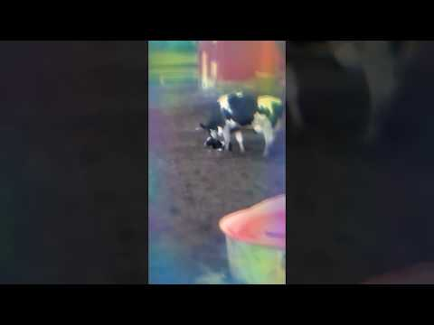 Momma cow just gave birth to her newborn baby in Catskill, NY