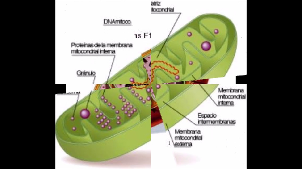 Mitocondria Y Respiración Celular Youtube
