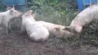 遊んでいる仔豚を撮ってみました。