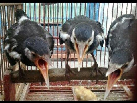 Jual Burung Jalak Suren Lokal Jawa Hasil Penangkaran